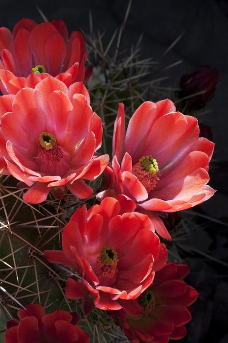 Tangerine Cactus Flower Print by Phyllis Denton