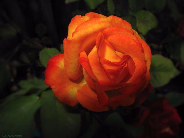 Joyce Dickens - Tangerine Rose of Seaside