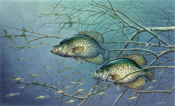 Tangled Cover Crappie II Print by Jon Q Wright