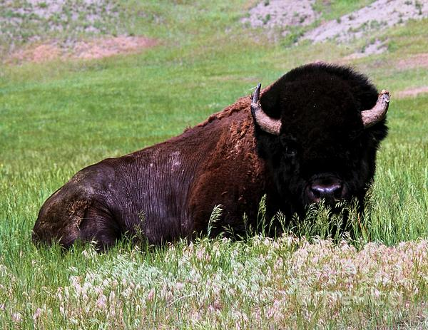 Tatanka Print by Chris  Brewington Photography LLC