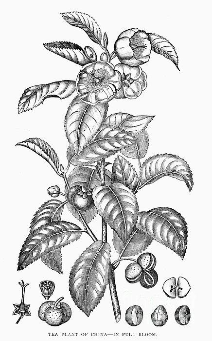 Tea Plant, 19th Century Print by Granger