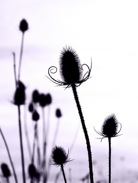 Teasels In A French Field  I Print by Gareth Davies