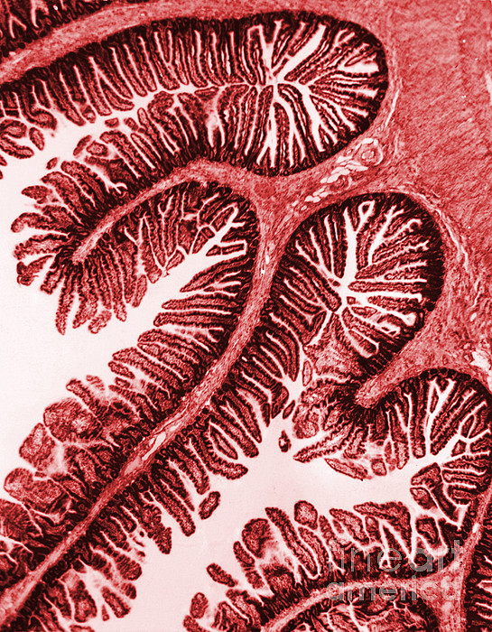 Tem Of Intestinal Villi Print by Science Source