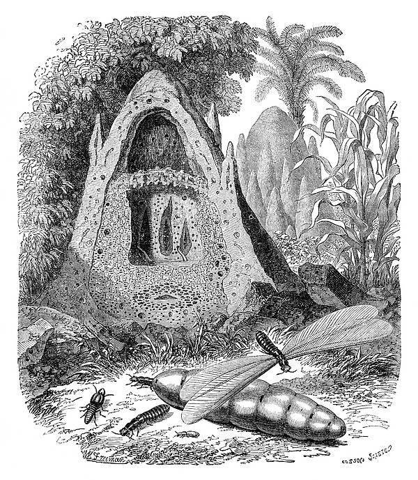 Termite Mound And Castes Print by