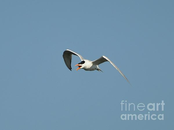 Tern Flight 02 Print by Al Powell Photography USA