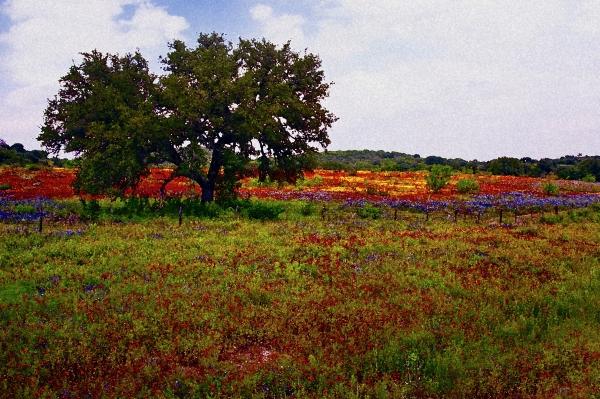 Texas Wildflowers Print by Tamyra Ayles