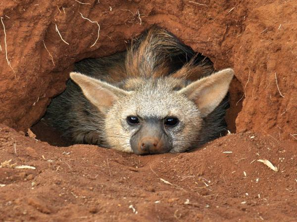 Aardwolf Wallpapers The aardwolf Proteles