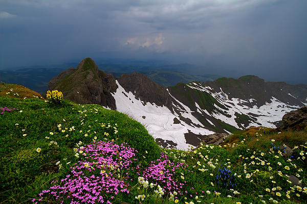 The Alps Wildflowers Print by Debra and Dave Vanderlaan