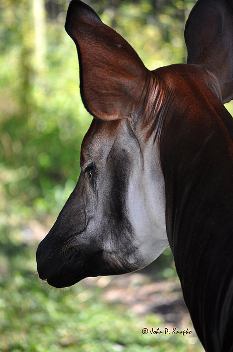The Beautiful Okapi 01 Print by John Knapko