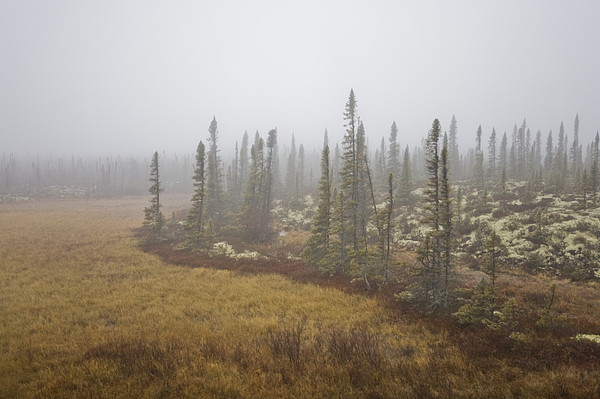 The Boreal Forest On A Foggy Day Print by Taylor S. Kennedy