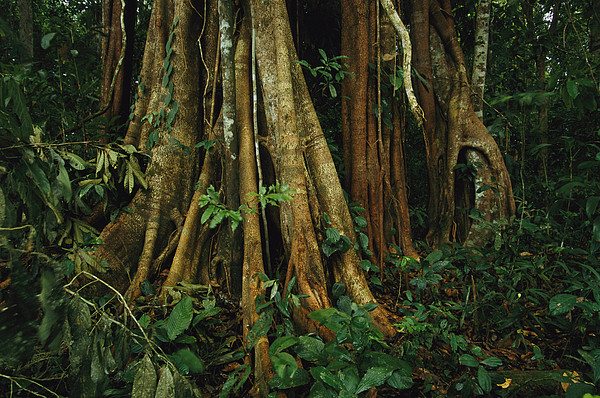 The Buttressed Roots On A Strangler Fig Print by Steve Winter