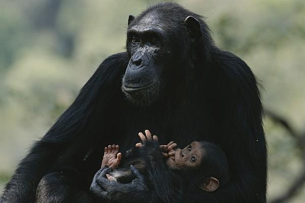 The Chimpanzee Rafiki With Her Twins Print by Michael Nichols