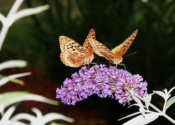 The Dancing Butterflies Print by Christy Bruna