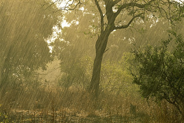 The First Downpour After Six Dry Months Print by Frans Lanting