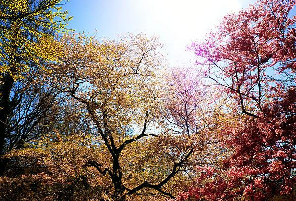 The Grandest Of Dreams - Cherry Blossoms - Brooklyn Botanic Garden Print by Vivienne Gucwa