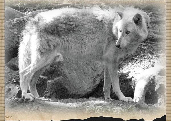 The Gray Wolf Print by Debra     Vatalaro