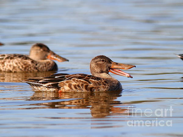 The Laughing Duck Print by Wingsdomain Art and Photography