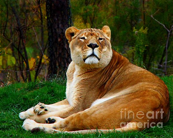 Davandra Cribbie - The Lioness