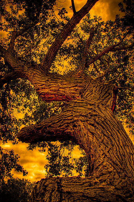 The Oak Tree at Red Rock Canyon Photograph