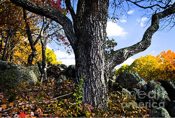 The Old Oak Tree Print by Jim  Calarese
