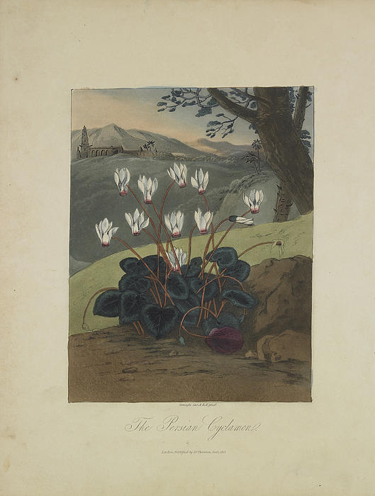 The Persian Cyclamen Print by Robert John Thornton