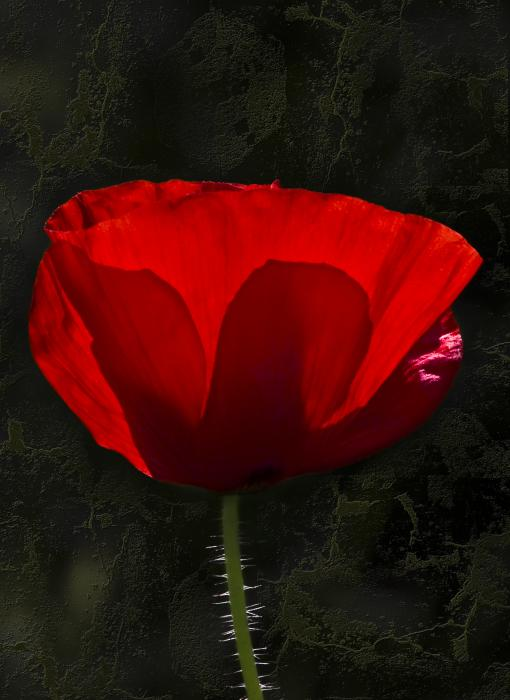 The Poppy Print by Svetlana Sewell
