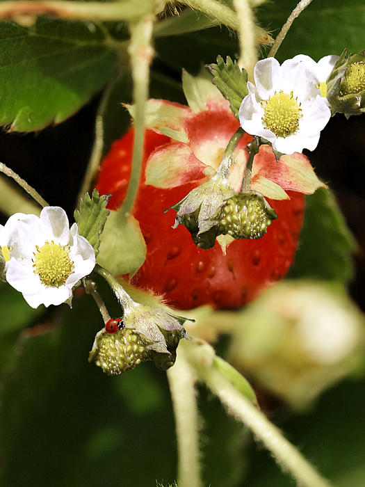 The Promise Of Strawberries Print by Diane Schuster