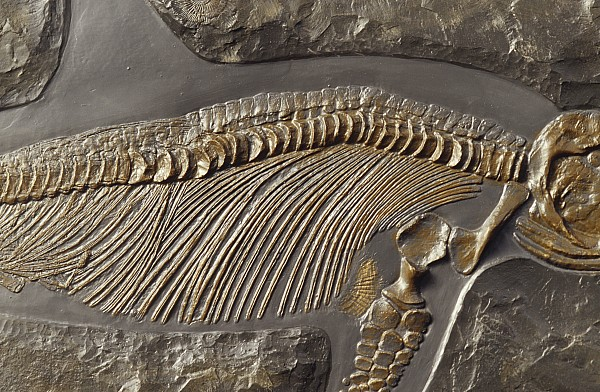 The Ribs And Spine Of Ichthyosaur Print by Jason Edwards