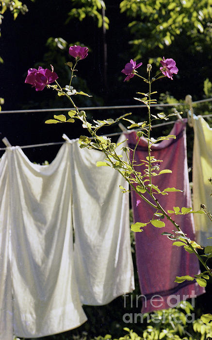 The Rose Towel Photograph  - The Rose Towel Fine Art Print