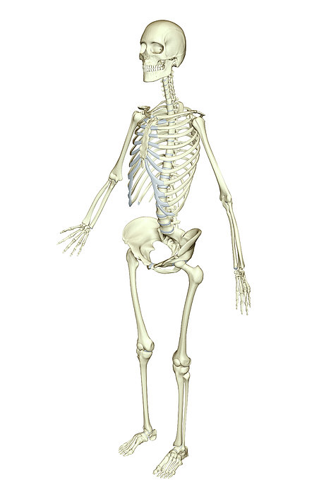 The Skeletal System Print by MedicalRF.com