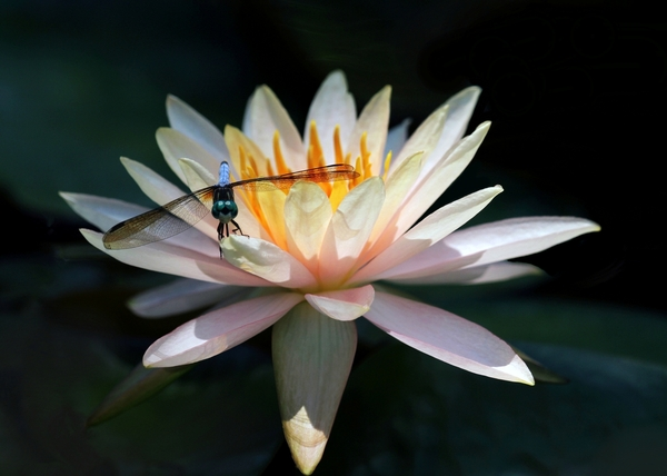 The Water Lily And The Dragonfly Print by Sabrina L Ryan