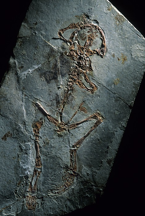 This 124 Million Year Old Frog Fossil Print by O. Louis Mazzatenta
