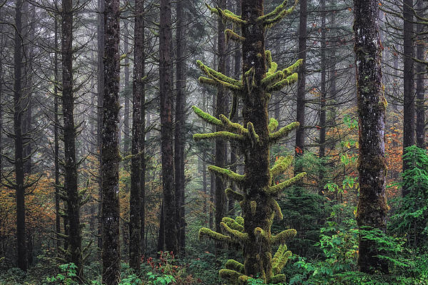 This Is British Columbia No.54f - Misty Mystical Moss Forest IIi Print by Paul W Sharpe Aka Wizard of Wonders