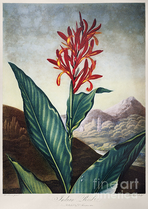 Thornton: Indian Reed Print by Granger
