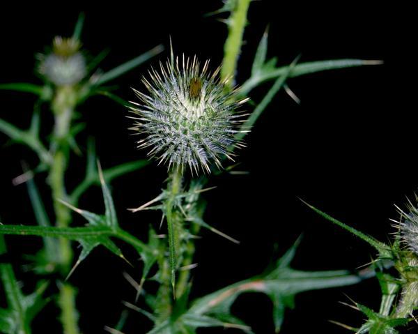 Thorny Plant by Lauren Macko