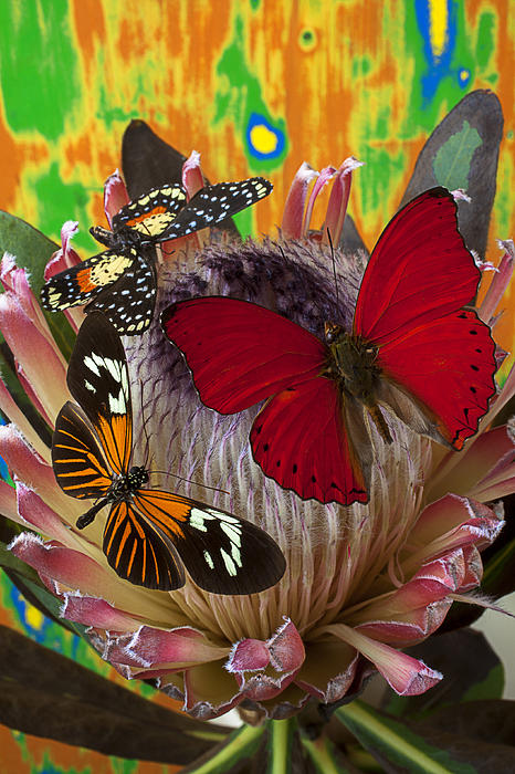 Garry Gay - Three butterflies on protea