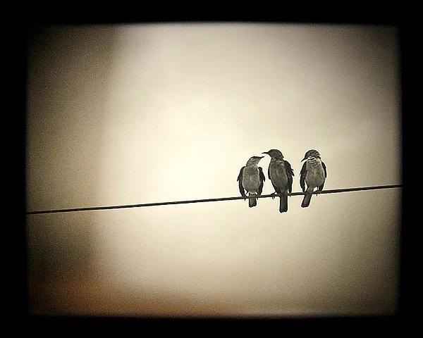 Three Little Birds Print by Trish Mistric