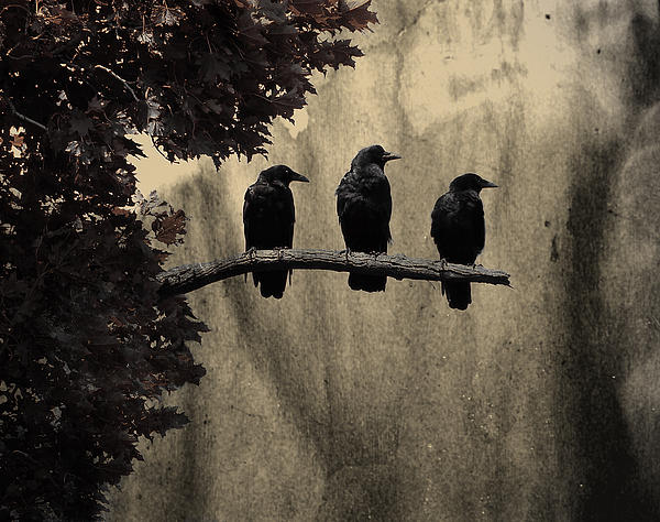 Three Ravens Photograph  - Three Ravens Fine Art Print