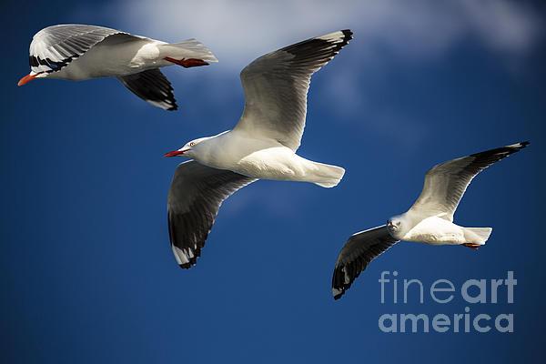 Three Silver Gulls Print by Sheila Smart