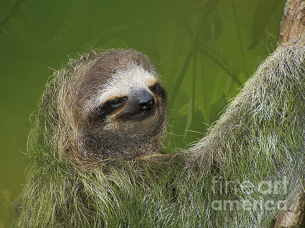 Three-toed Sloth Print by Heiko Koehrer-Wagner