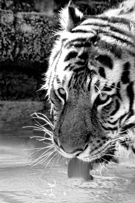 Tiger At The Watering Hole Print by Tracie Kaska