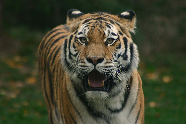 Tiger Print by David Rucker