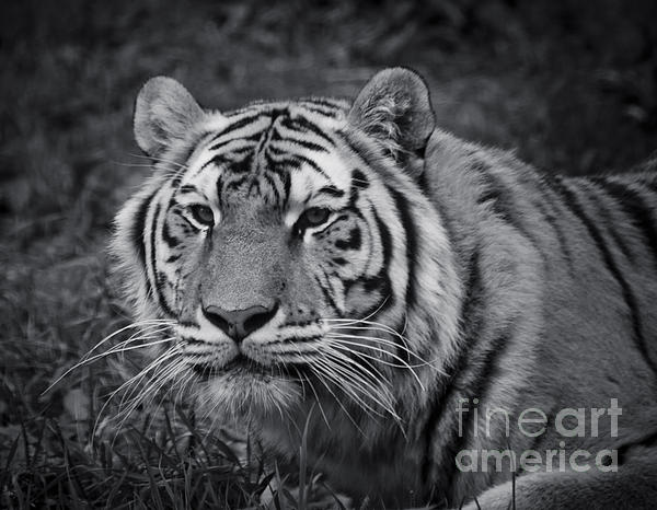 Tiger In The Grass Print by Darcy Michaelchuk