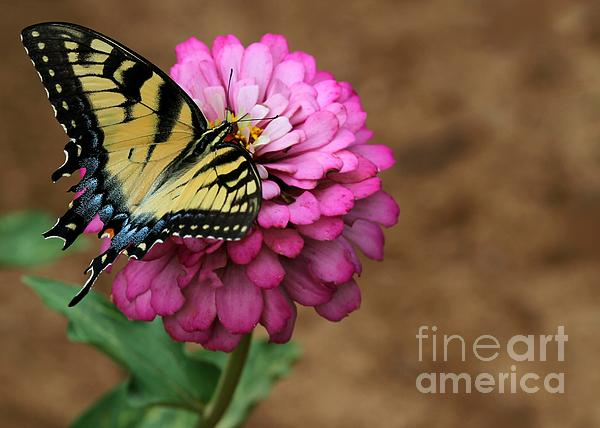 Sabrina L Ryan - Tiger Swallowtail on a Pink Zinnia