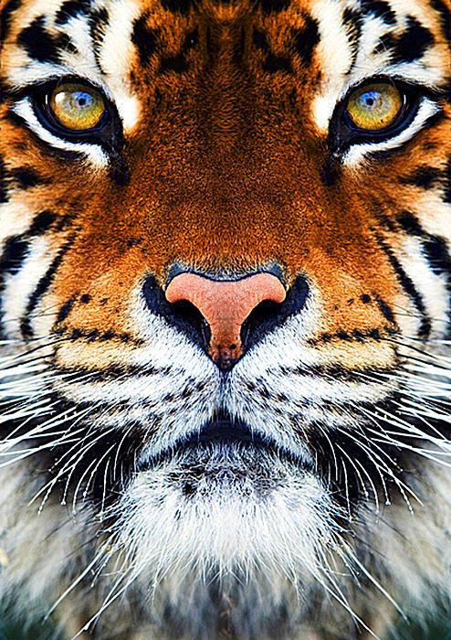 Tiger's Face Print by Helen Stapleton