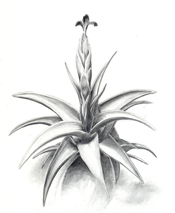Tillandsia Colganii Drawing