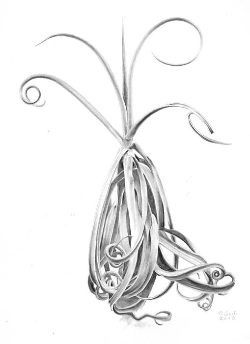 Tillandsia Duratii Drawing