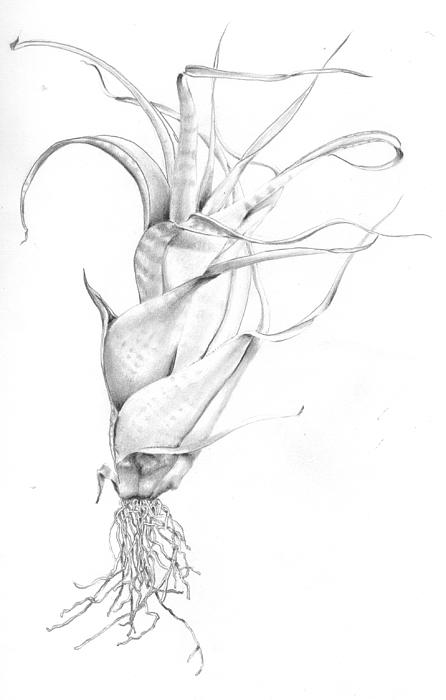 Tillandsia Flexuosa Drawing  - Tillandsia Flexuosa Fine Art Print