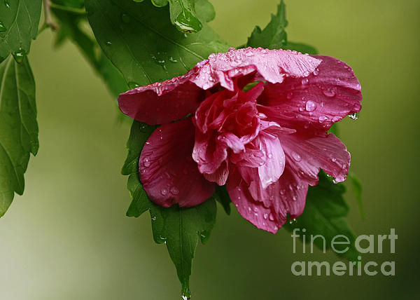Inspired Nature Photography By Shelley Myke - Timeless Garden - Rose of Sharon Flower