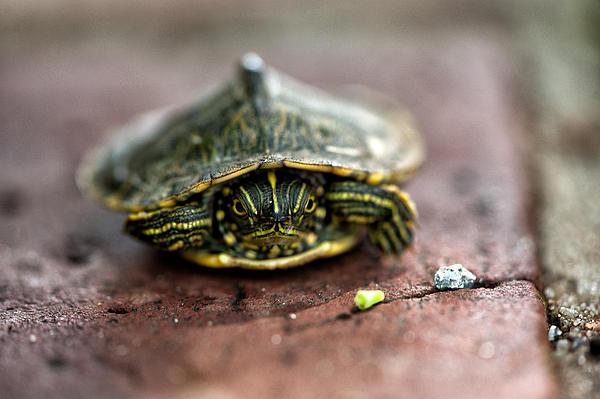 Cathy  Weeks - Tiny Turtle
